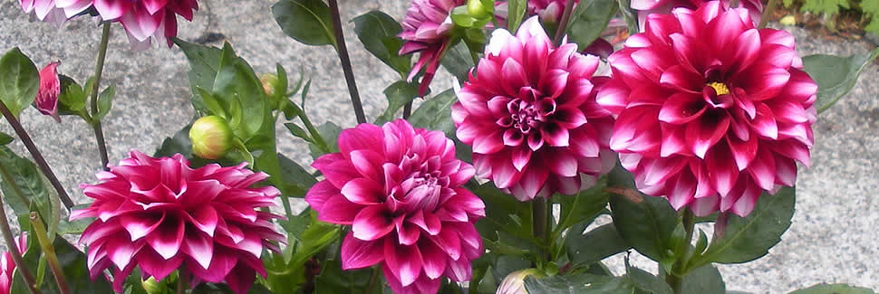 Dahlias from Mortimers Nurseries