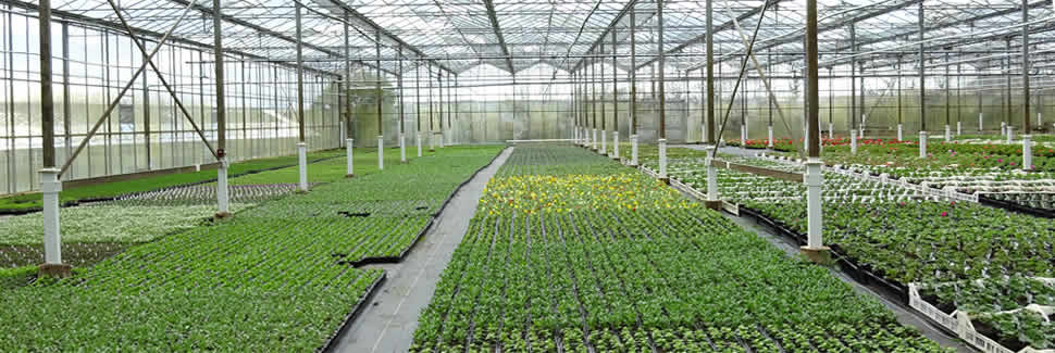 Our greenhouses at Mortimers Nurseries