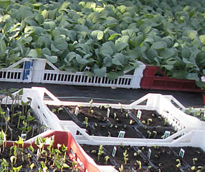 Vegetable Plants, Tomato Plants and Herbs
